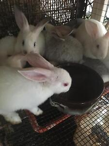 Baby rabbits for sale as well as older ones Roselands Canterbury Area Preview