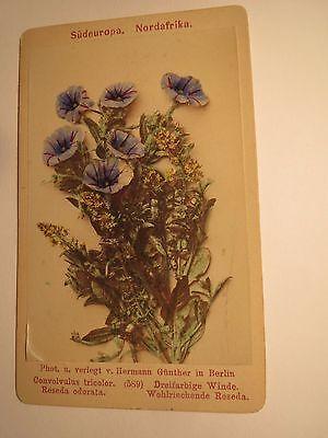 convolvulus tricolor / Dreifarbige Winde - Reseda odorata - Pflanze / CDV