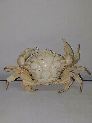 "Rare deep sea Demania Cultripes crab taxidermy. 4.5"". Marine life #1"