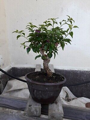 Bonsai di bouganville