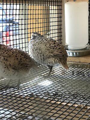12 Snowflake Bobwhite Quail Hatching Eggsready Now