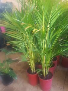 bargain plants Clarkson Wanneroo Area Preview