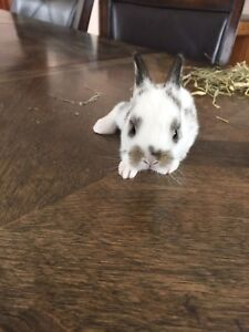 Adorable baby bunny for sale!