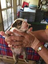 British bulldog puppies Benowa Gold Coast City Preview