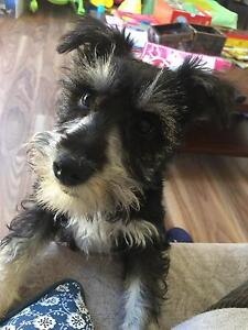 Male Miniature schnauzer 4 mths old Canning Vale Canning Area Preview