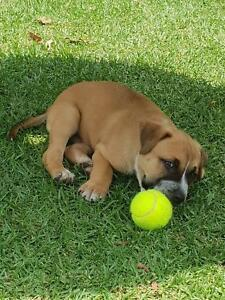 1 male Blue Cattle x American Staffy puppy for sale