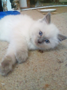 Ragdoll Kittens 2 males left St Albans Brimbank Area Preview