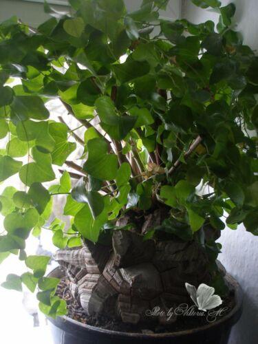 Dioscorea elephantipes 15 seeds RARE Caudex plants