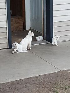 All white kittens