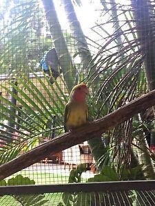 Love bird Mount Cotton Redland Area Preview