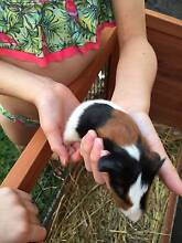 Cute Baby Guinea Pigs for Sale Vaucluse Eastern Suburbs Preview