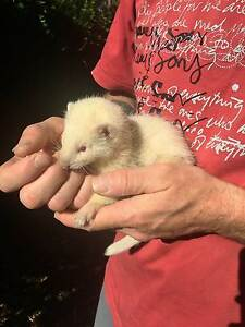Young Ferrets Lyndoch Barossa Area Preview