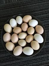 Fertile mix breed eggs Tahmoor Wollondilly Area Preview