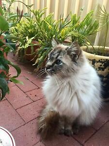 Purebred Ragdoll Cat (Named Messy) Lockridge Swan Area Preview
