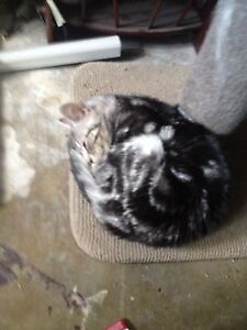 Kitten for sale Bethania Logan Area Preview