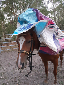 Registered Arabian mare Burpengary Caboolture Area Preview