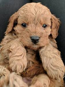 Beautiful Cavoodle Puppies Byford Serpentine Area Preview