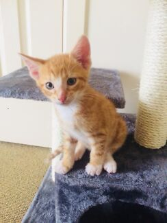 2x Male Ginger Kittens and Accessories.