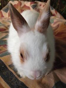 Netherland dwarf rabbits Glenroy Moreland Area Preview