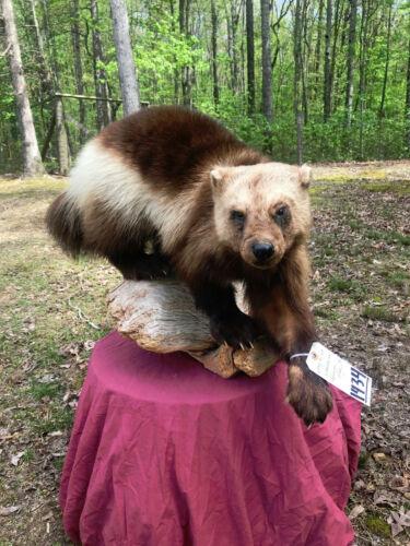 BEAUTIFUL Wolverine Lifesize Mount Taxidermy Log Cabin Hunting Lodge Decor .