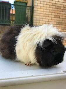 BOY & GIRL GUINEA PIGS + CAGE + HAY Padstow Heights Bankstown Area Preview