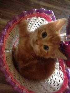 Ragdoll x Domestic kittens Baw Baw Area Preview