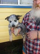 Australian Cattle Dog Puppy      PURE-BRED  NO PAPERS Warwick Southern Downs Preview