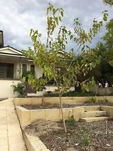 Mature white mulberry Tree. Very healthy. 3m tall Bateman Melville Area Preview