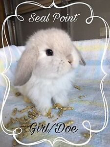 Binkies Rabbitry - 6 Purebred Mini Lops Baldivis Rockingham Area Preview