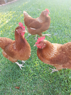3 x Isa Brown laying hens , delivery available. going cheep!.