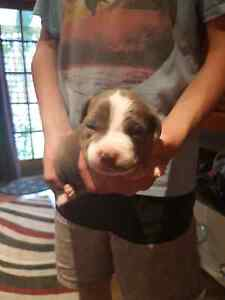 Purebred Blue American Staffy Puppies Maitland Maitland Area Preview