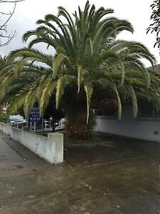 Urgent Sale!!! Two Palm Trees Springvale Greater Dandenong Preview