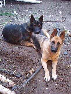 Pedigree German Shepherds Caroline Springs Melton Area Preview