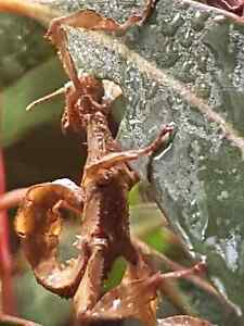 Spiny leaf stick insects Ingle Farm Salisbury Area Preview