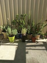 $$180 FOR 7 HEALTHY POT PLANTS IN POTS Warnbro Rockingham Area Preview