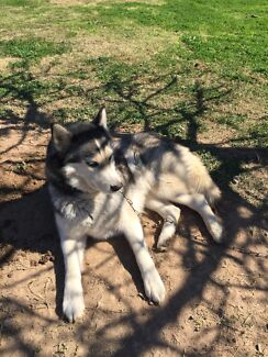 Re-homing my purebred Siberian Husky Leyburn Southern Downs Preview