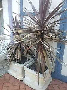 Heavy potted cordylines 48cm square 40cm high 100 for both Wembley Cambridge Area Preview