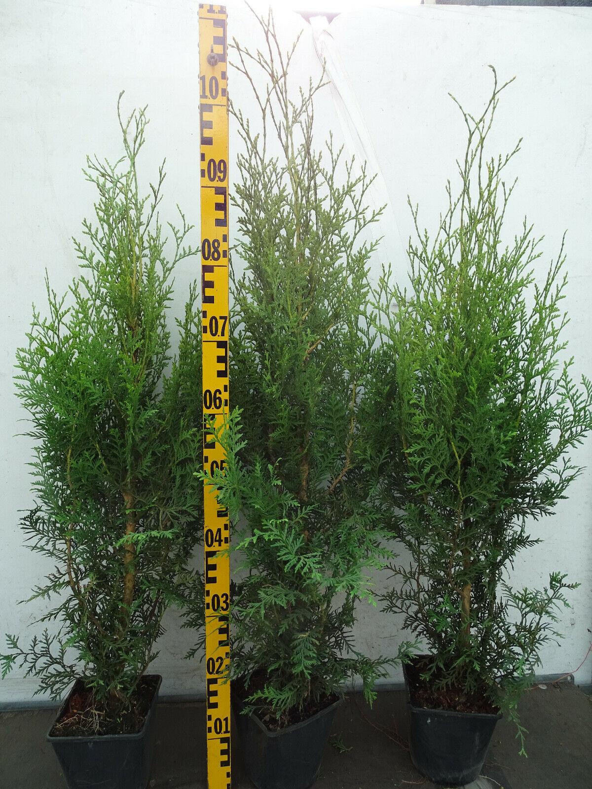 100 Thuja occidentalis Brabant  299€ 80  cm Lebensbaum Hecke immergrün Zypresse