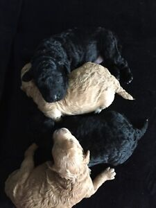 Black and Apricot Mini Poodle Puppies