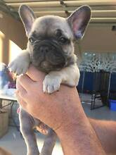 French Bulldog Puppies for Sale Cashmere Pine Rivers Area Preview