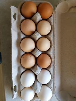 Pure bred fertile chicken eggs $40 Doz