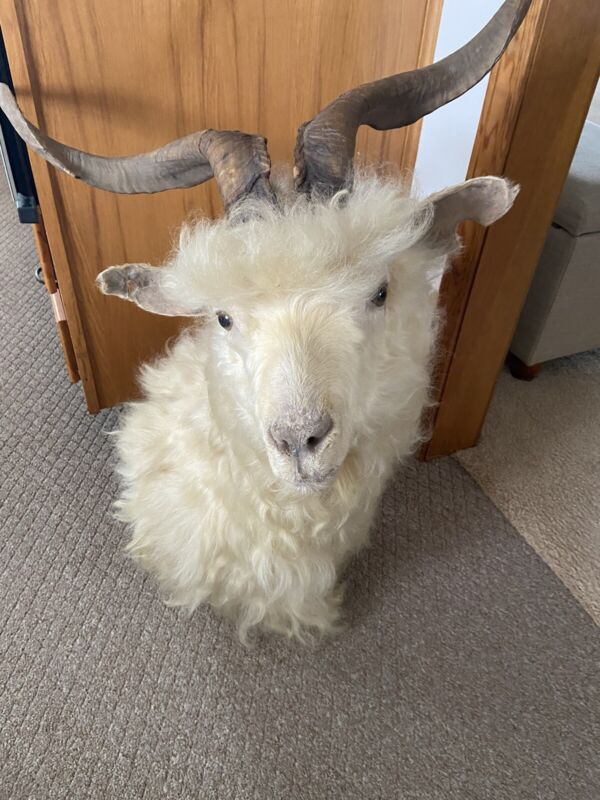 Angora Goat Taxidermy Mount /Pick Up Only!