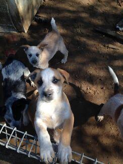Pure bread Cattle dog pups  Morisset Lake Macquarie Area Preview