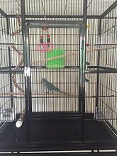 Beautiful hand reared blue female Quaker parrot Woodcroft Morphett Vale Area Preview