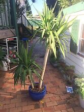 Yucca Plant in stylish pot, 1.85m tall Revesby Heights Bankstown Area Preview
