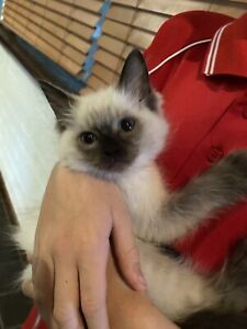 Ragdoll kittens from registered breeder