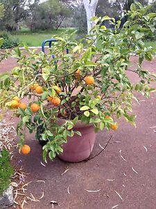 Mature Lemon tree  in pot Wandi Kwinana Area Preview
