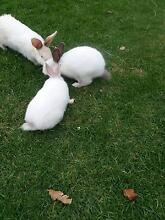 New Zealand Giant Rabbits Bass Hill Bankstown Area Preview
