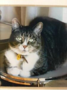 Missing Cat -  Tabby lost in Hallam distinctive tuxedo markings!! Hallam Casey Area Preview