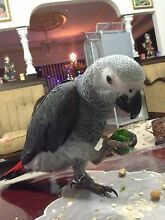 African grey hand raised cock  months old Mount Druitt Blacktown Area Preview
